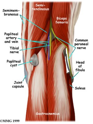 anatomy of the back of the knee