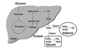 glucose metabolism to triglyceride