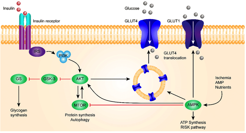 Glut4 transporter and insulin